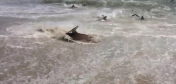 Watch as sharks feed frantically on a tourist beach!