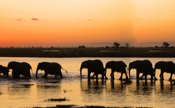 Elephant tracking in Botswana