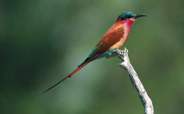 A Carmin Bee-eater