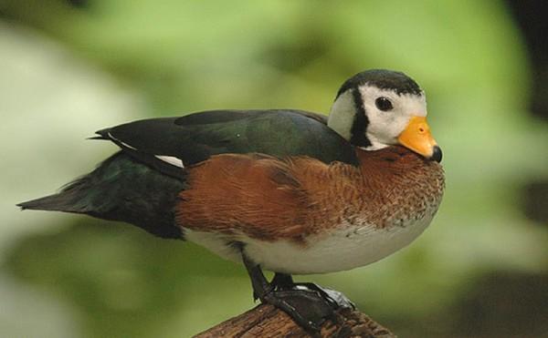 An African Pygmy Goose