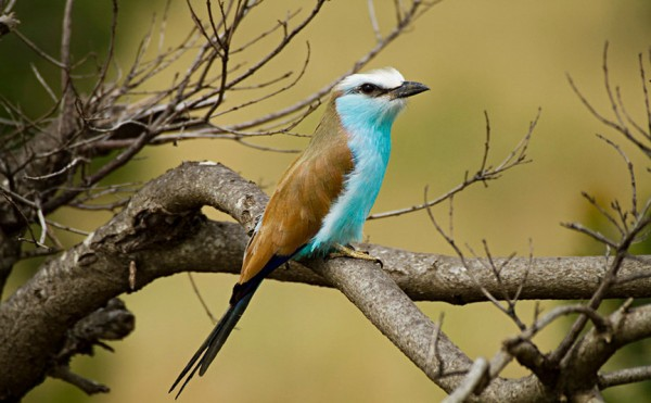 A Racket Tailed Roller