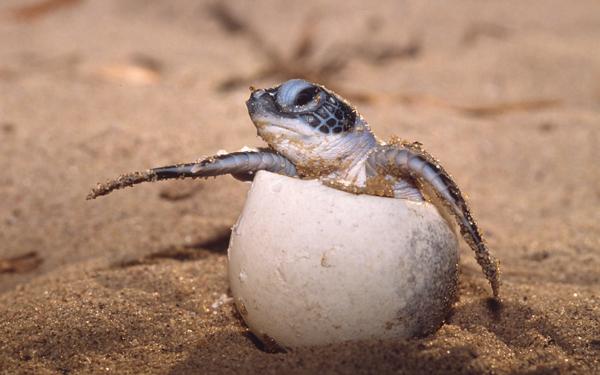 Turtle hatchling on Heron Island