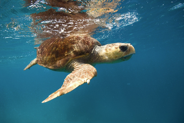 Heron - turtle swimming