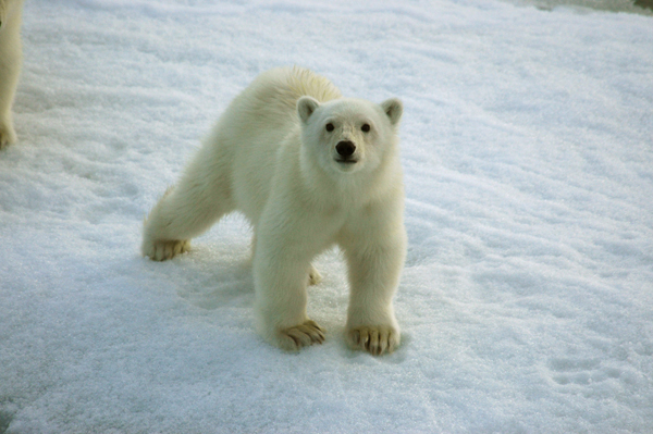 Get up close and personal with Polar Bears with Peregrine