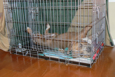 American Staffordshire Terrier-cage