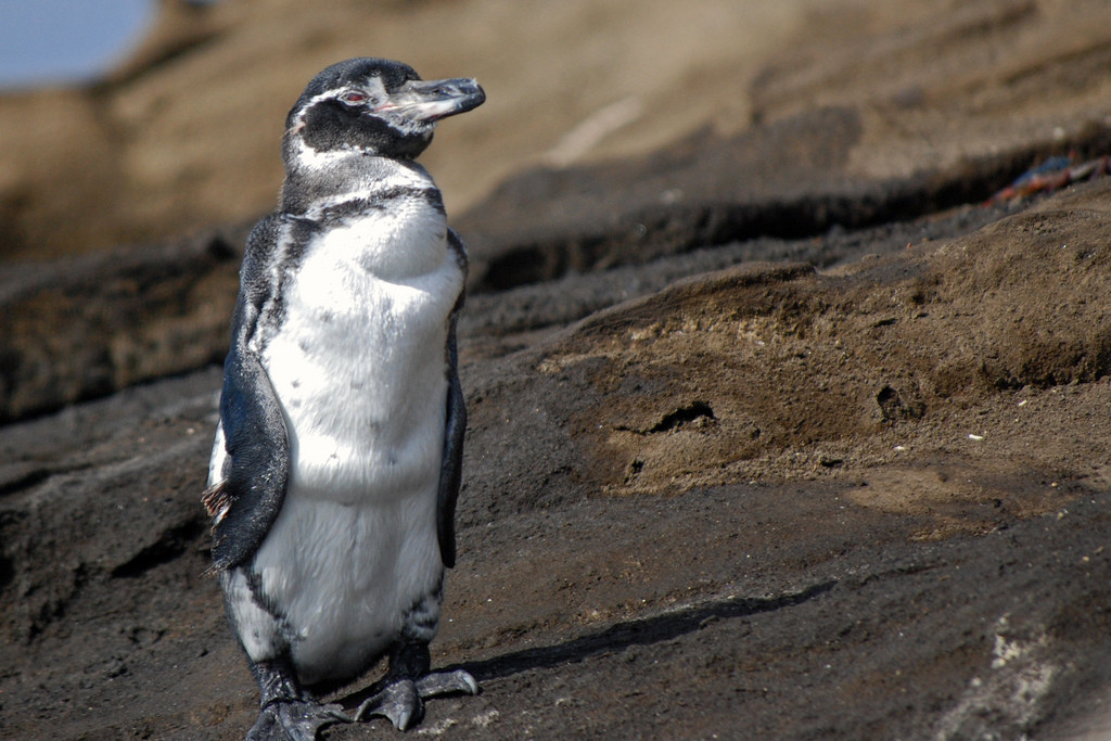 The Galapagos Penguin; the only penguin that lives north of the equator.