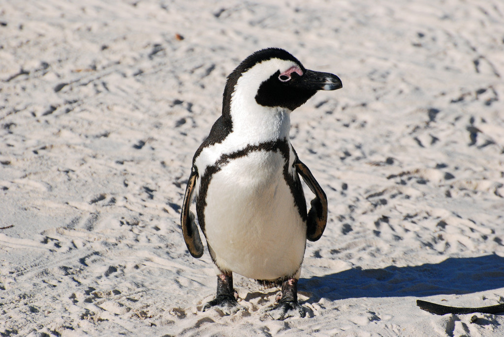 The African Penguin, also known as the Black-footed Penguin, resides solely in southern African waters.