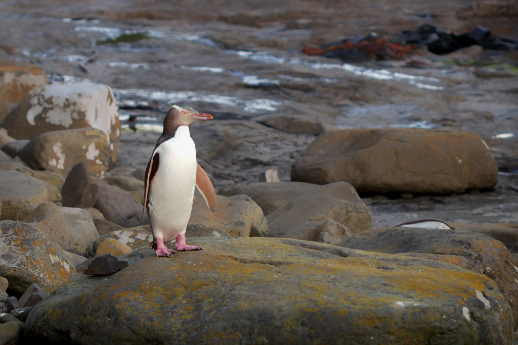 The Yellow-Eyed Penguin; at 5.5-8 kg, the Yellow-Eyed Penguin is the 4th largest penguin species in the world.