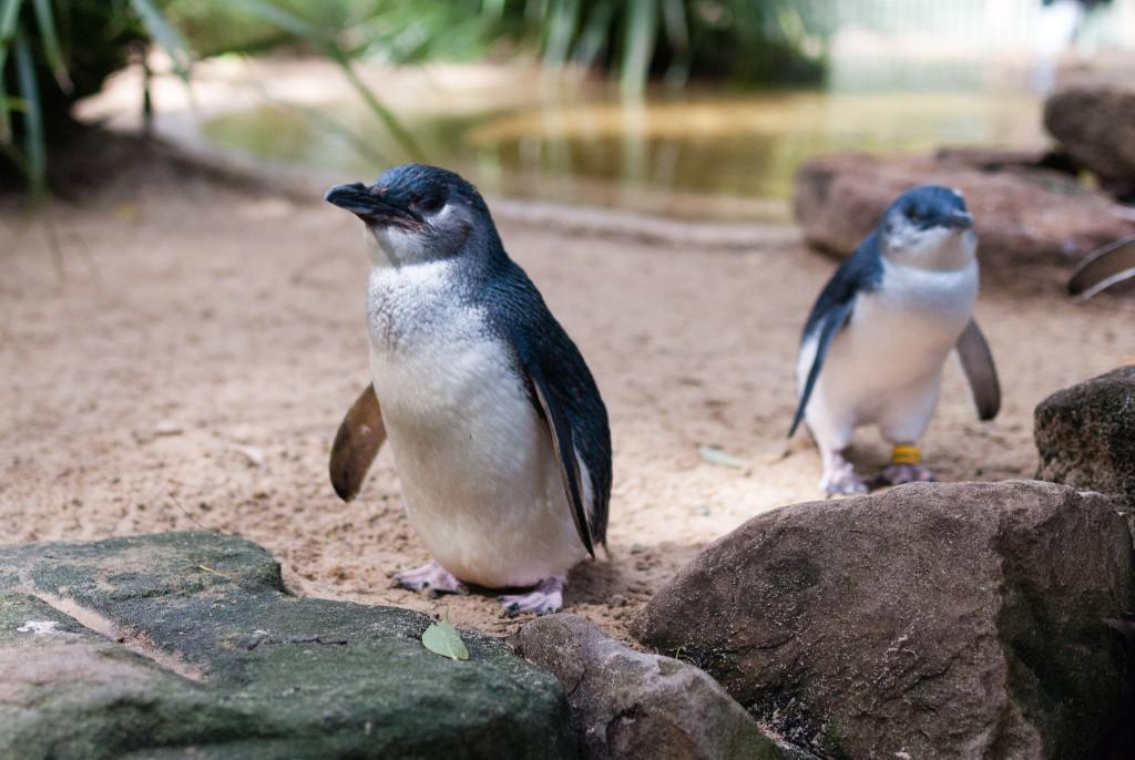 Little Penguins; the smallest penguin species in the world.