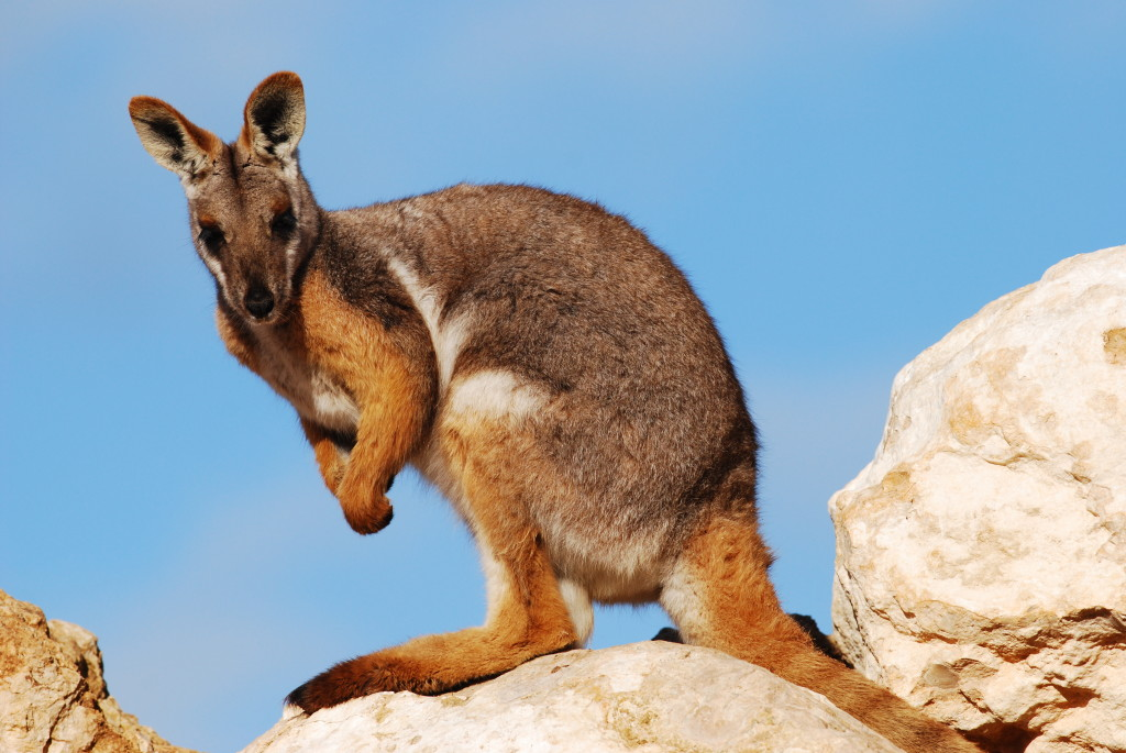 Barrow Island is home to a sub-population of spectacle-hare wallabies.