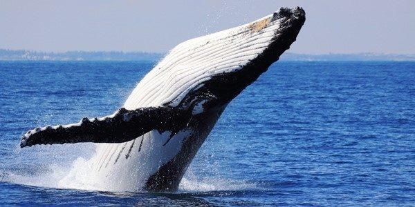 humpback-whales-perth